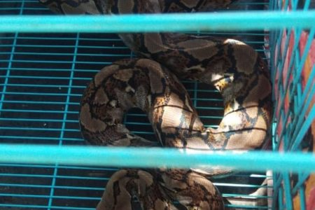 West Papua: police investigate as bags of snakes thrown into student dormitory